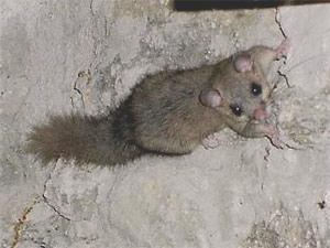 Edible dormouse (Glis glis). Source: Wikipedia.