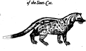 "Zibeth or Sivet-Cat. This woodcut is an illustration from the book ""The history of four-footed beasts and serpents..."" by Edward Topsell, printed by E. Cotes for G. Sawbridge, T. Williams and T. Johnson in London in 1658. courtesy of Special Collections, University of Houston Libraries"