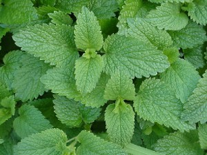 Figure 3. Lemon balm (Melissa officinalis)