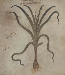 Representation of garlic in the famous 'Vienna Dioscorides' manuscript (512 CE)
