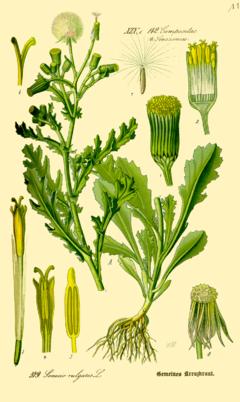 Groundsel (Senecio vulgaris). Credit: Wikimedia Commons.