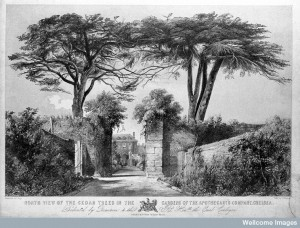 The Physic Garden, Chelsea: a view showing the pair of cedar. Credit: Wellcome Library, London.