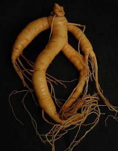 "The English name reflects the long history of identifying the somewhat anthropomorphic form of this root. Dioskourides differentiates between a ""Male"" and ""Female"" form – this one is the female variety. Image credit: http://fa13ethnobotany.providence.wikispaces.net/Mandrake."