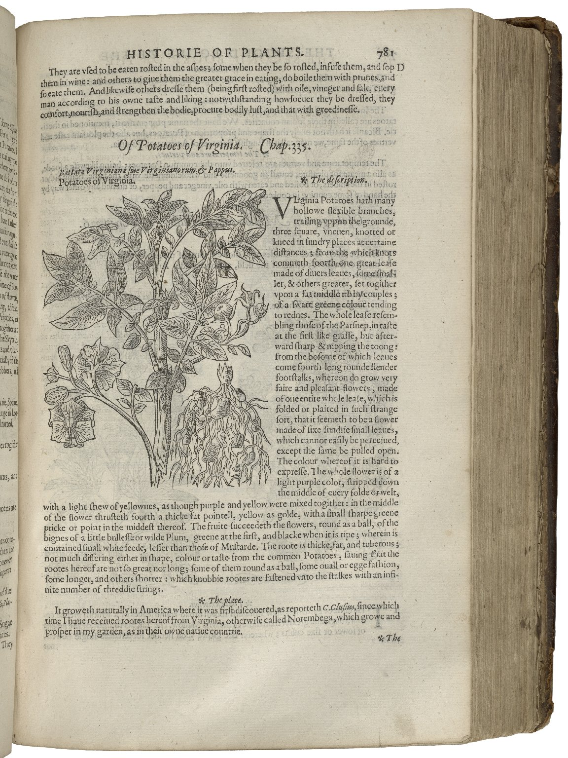 """Of Potatoes of Virginia,"" in John Gerard, The Herball (London, 1597). Image courtesy of the Folger Shakespeare Library."