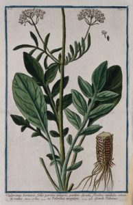 'Valerian'. Credit: Wellcome Collection: https://wellcomecollection.org/works/rw9eqv2m.