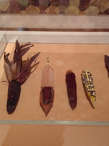 Fig. 4. Different varieties of heirloom corn. Image credit: Catherine Price.