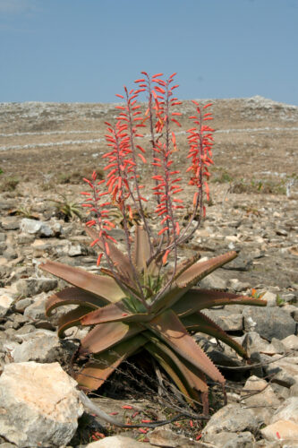 Arid landscape and blur sky. Plan with wide lower leaves that are brown. Several long, spiny flowers that are bright red (narrow) grow out of it.