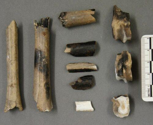 Feet bones of sheep and goat.